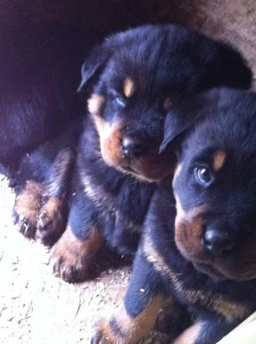 PRUEBRED ROTTWEILER PUPPIES READY TO GO!!!