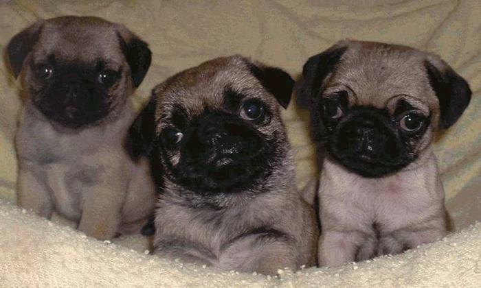 Pug Puppies & Crosses!