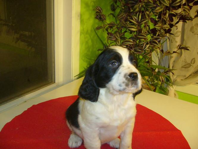 Puppies for sale - English springer for sale in Lourdes-de