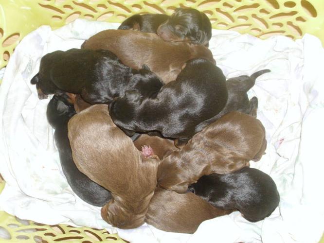 puppy for sale sudbury ontario