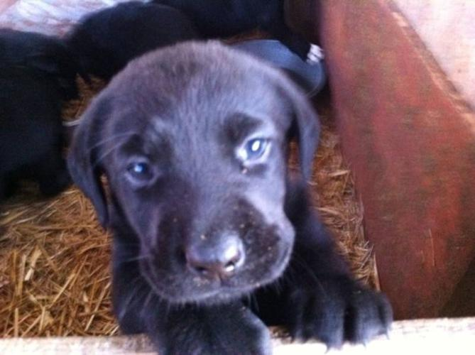 Pure Bred Black Lab Puppies
