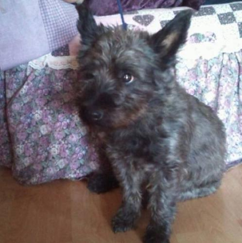 Pure Bred Male Cairn Terrier( Proven Breeder Dog) for sale in
