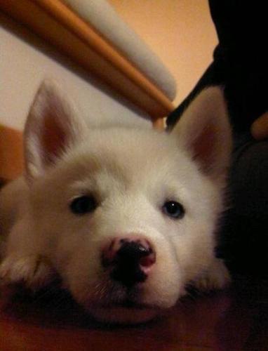 PURE WHITE Husky