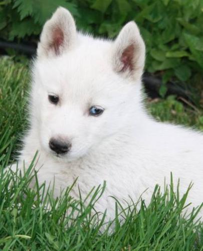 ... hosea red siberian husky dogs 1024 768 husky dog extremely adorable