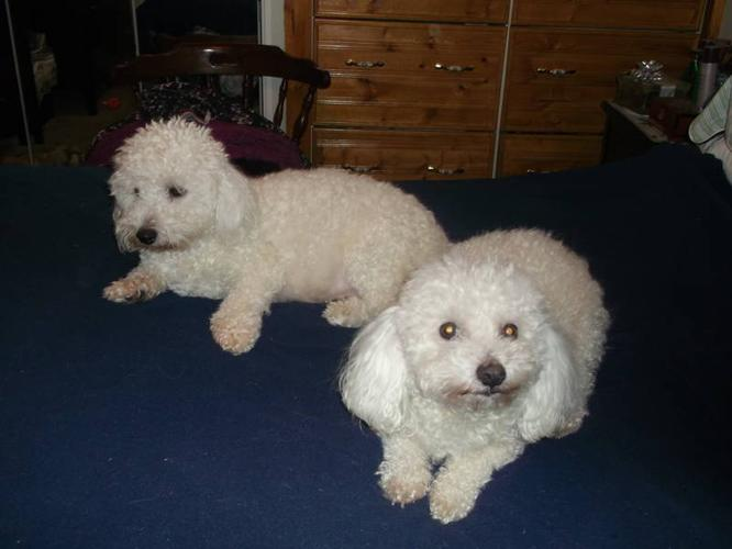 PUREBRED BICHON FRISE PUPS for sale in Teeswater, Ontario