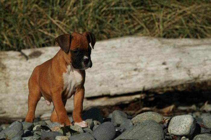 Purebred Boxer Puppies Ready to Go