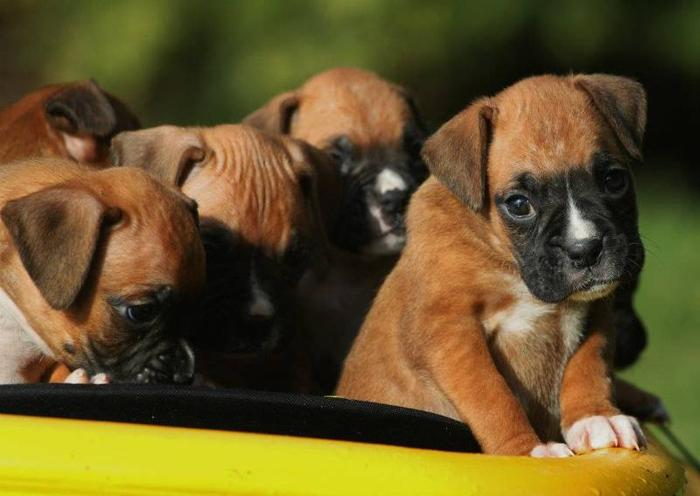 Purebred Boxer Puppies with Breeding Rights
