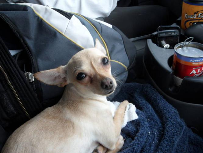 Displaying (16) Gallery Images For White Deer Head Chihuahua...