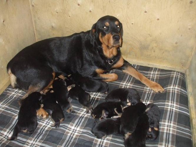 Purebred German Rottweiler Puppies for sale in London, Ontario