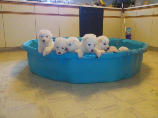 Purebred Great Pyrenees Puppies $100 OFF FOR TODAY AND TOMORROW