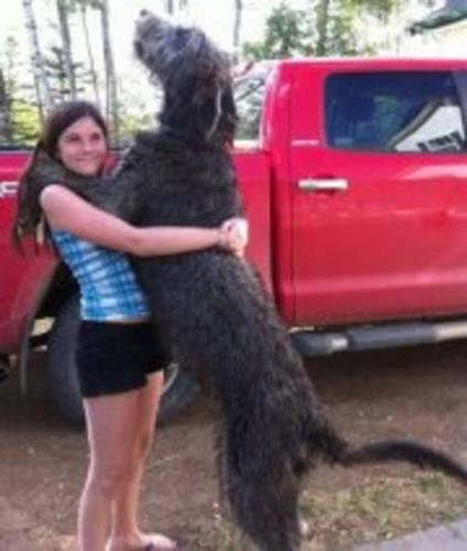 Purebred Irish Wolfhound Puppies For Sale For Sale In Arras