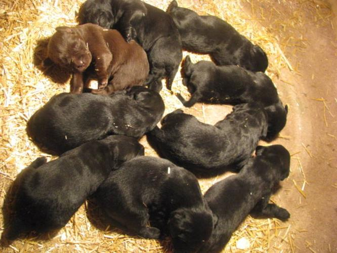 PUREBRED LABRADORS & PUREBRED GERMAN SHORTHAIR POINTERS
