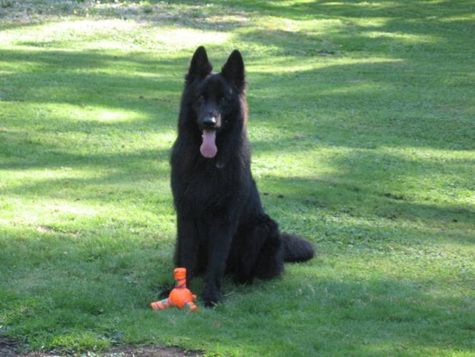 Purebred Long Hair Black German Shepherd Puppies Very