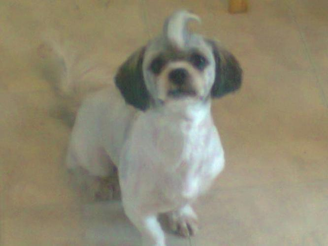 Purebred Male Shih Tzu in Welland