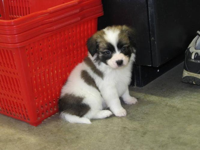 purebred papillion puppies for sale in killam alberta