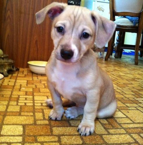 Rat ~ Terrier X Chihuahua