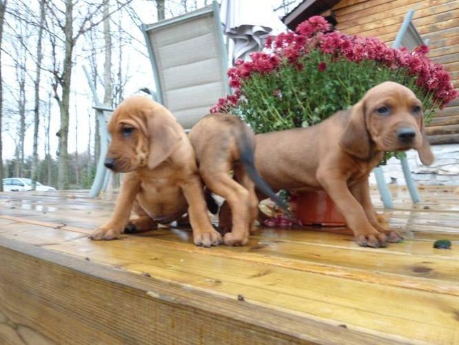 Redbone coonhound puppy