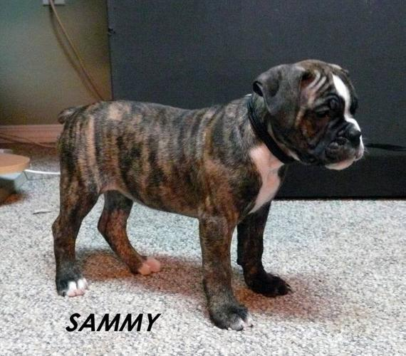 Reg: Valley Bulldog Puppies Reduced! for sale in Saskatoon