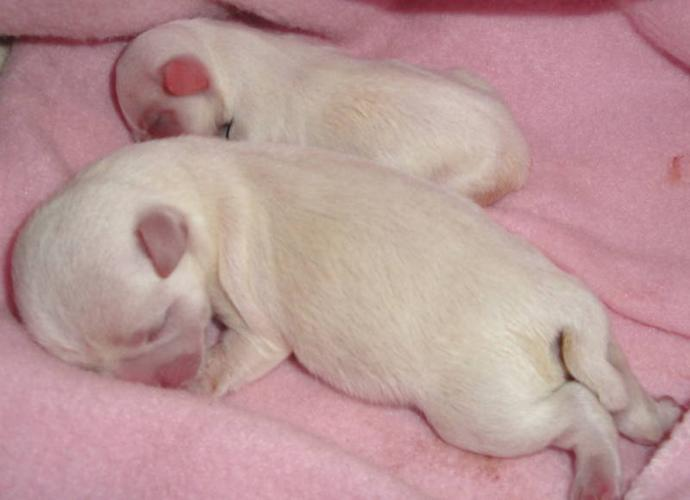 Registered Purebred Male Chihuahua Puppies