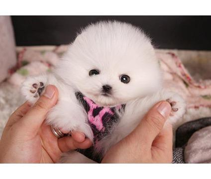 Sasha Is A Teacup Pomeranian Puppy She Will Love To