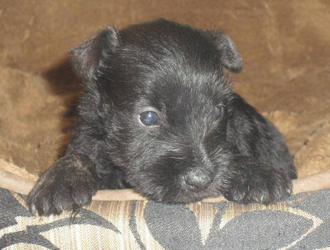 Schnottie Schnottie-puppies_3065245.jpg