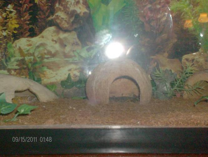 selling two geckos home and everything for cheap