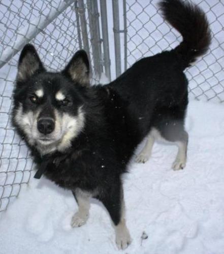 Senior Male Dog - Husky:
