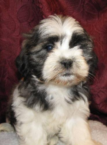 Shih Poo Puppies for sale in London, Ontario - Nice pets in Canada