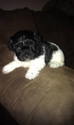 Shih-Poo x Sheltie Pups (ONLY 2 MALES LEFT!) for sale in London