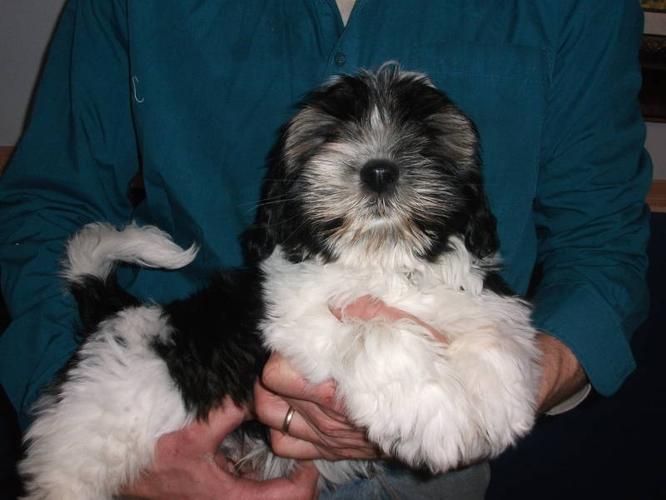 shih tzu bichon puppies for sale in North Battleford
