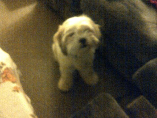 shih tzu mixed for sale