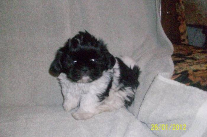 Shih tzu puppies-One girl, two boys