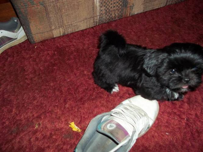 Shih Tzu Puppies For Sale In Cornwall Ontario Nice Pets In Canada