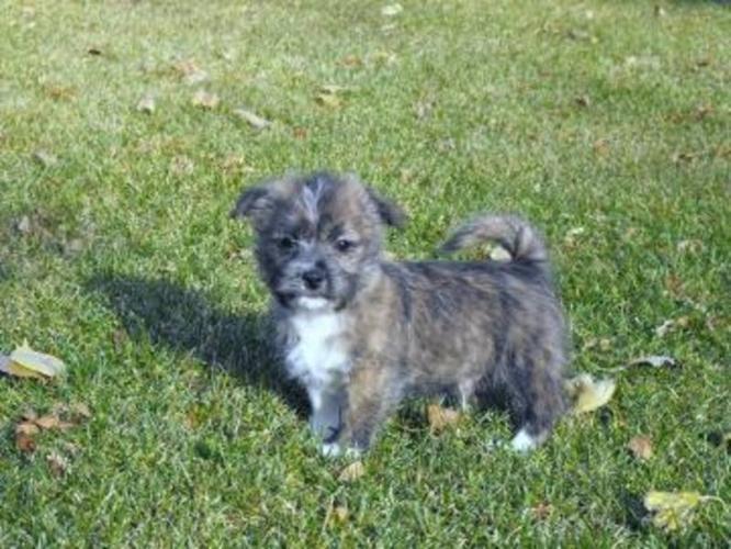 Shih Tzu X West Highland Terrier puppies