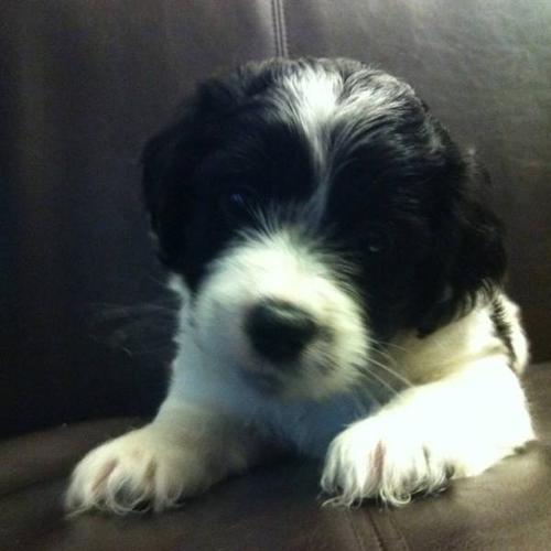 Shih Tzu Yorkie Bichon Puppies