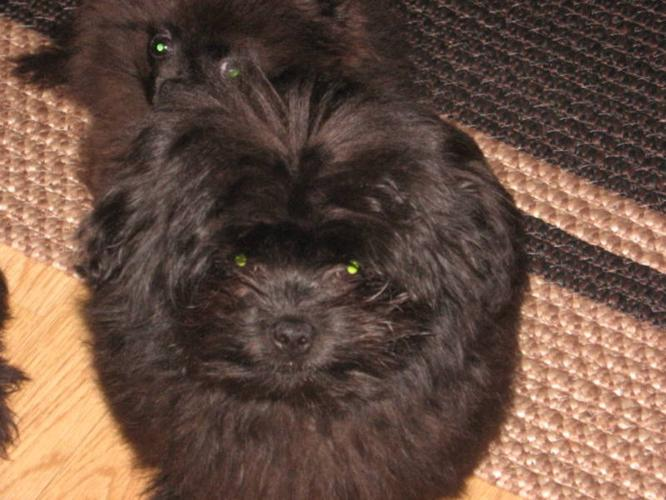 Shiranian Pups -2 males,house trained, great w/kids