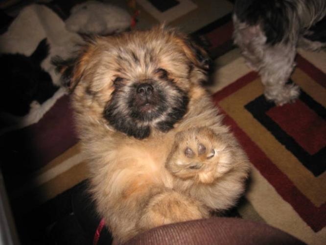 Brown Shiranian Puppies Shiranian pups - almost house