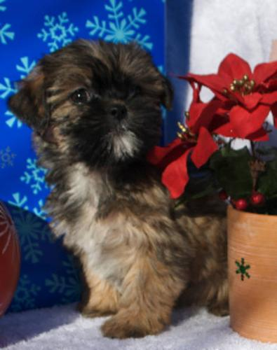 Shorkie Female Non Shed and Hypoall MC & Visa
