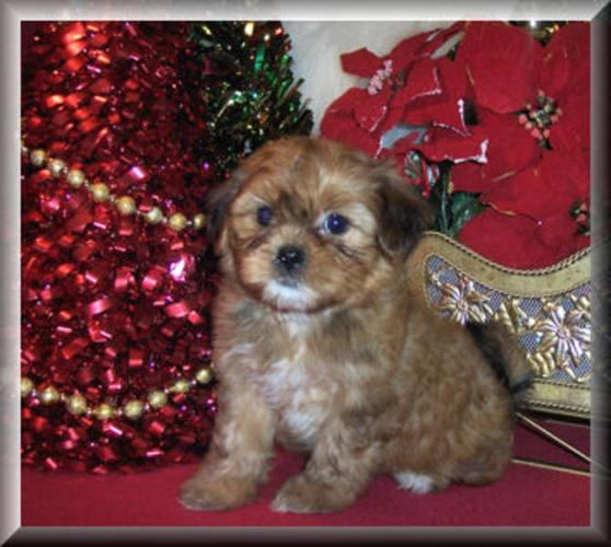 Shorkie Puppies for sale for sale in Orangeville, Ontario