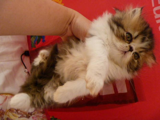Show Quanlity persian kittens reg CFA only 2 left(youtube