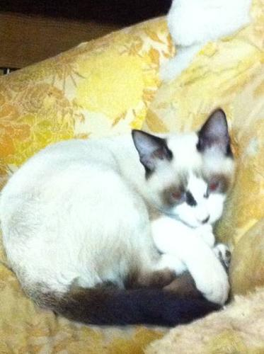 siamese/mancoon NOW REDUCED Polydactyl breeding also available