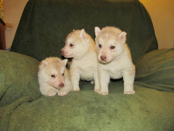 SIBERIAN HUSKIES...Last one