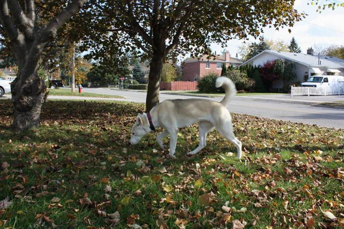 Siberian Husky/female