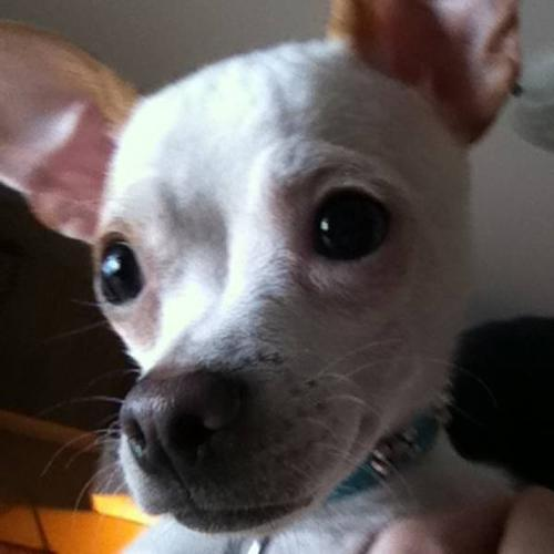 Spayed male chihuahua