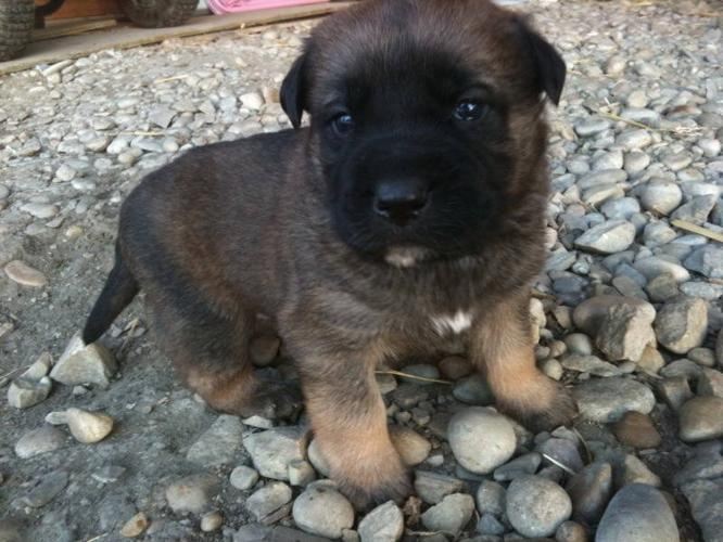 St. Weiler puppies for sale!