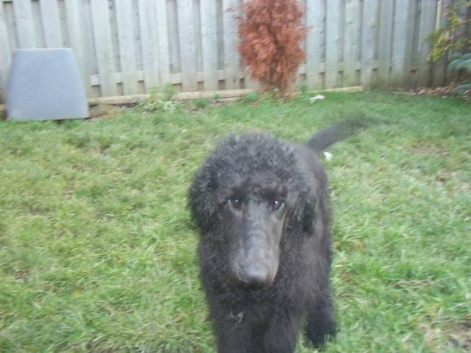 STANDARD POODLE PUPPY FOR SALE