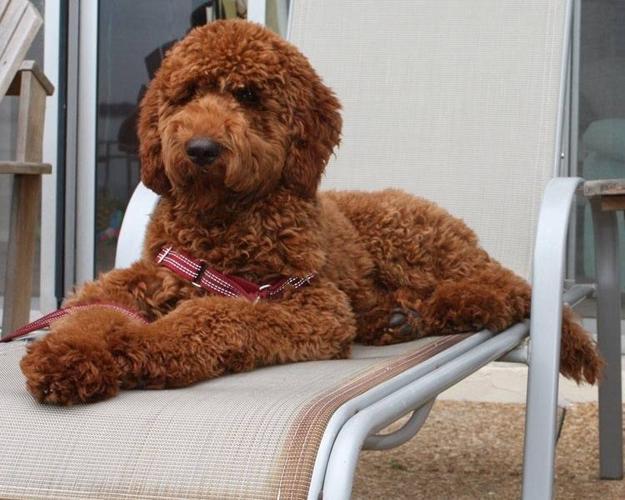 Standard Poodle Pups!! for sale in Listowel, Ontario - Nice