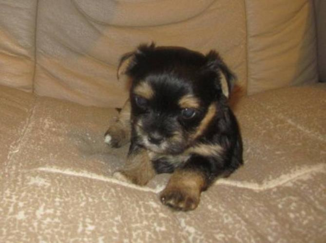 Stunning Home Raised Male Shorkie Puppy Ready Feb 15