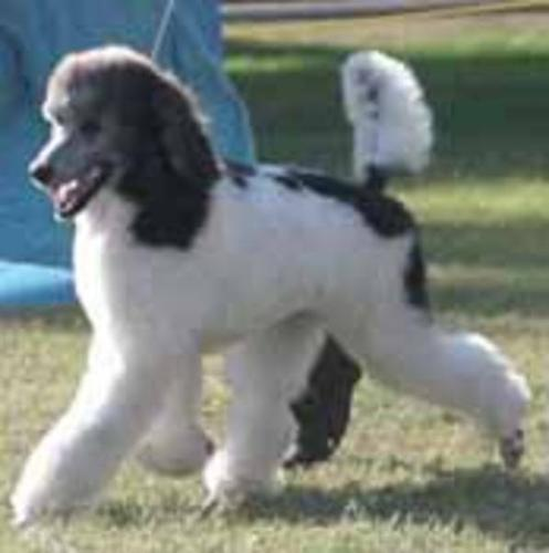 Stunning, Parti colored, CKC reg  Standard Poodles, blk or br/wh for