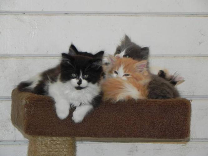 Stunning Persian X Angora Kittens - only 2 left!